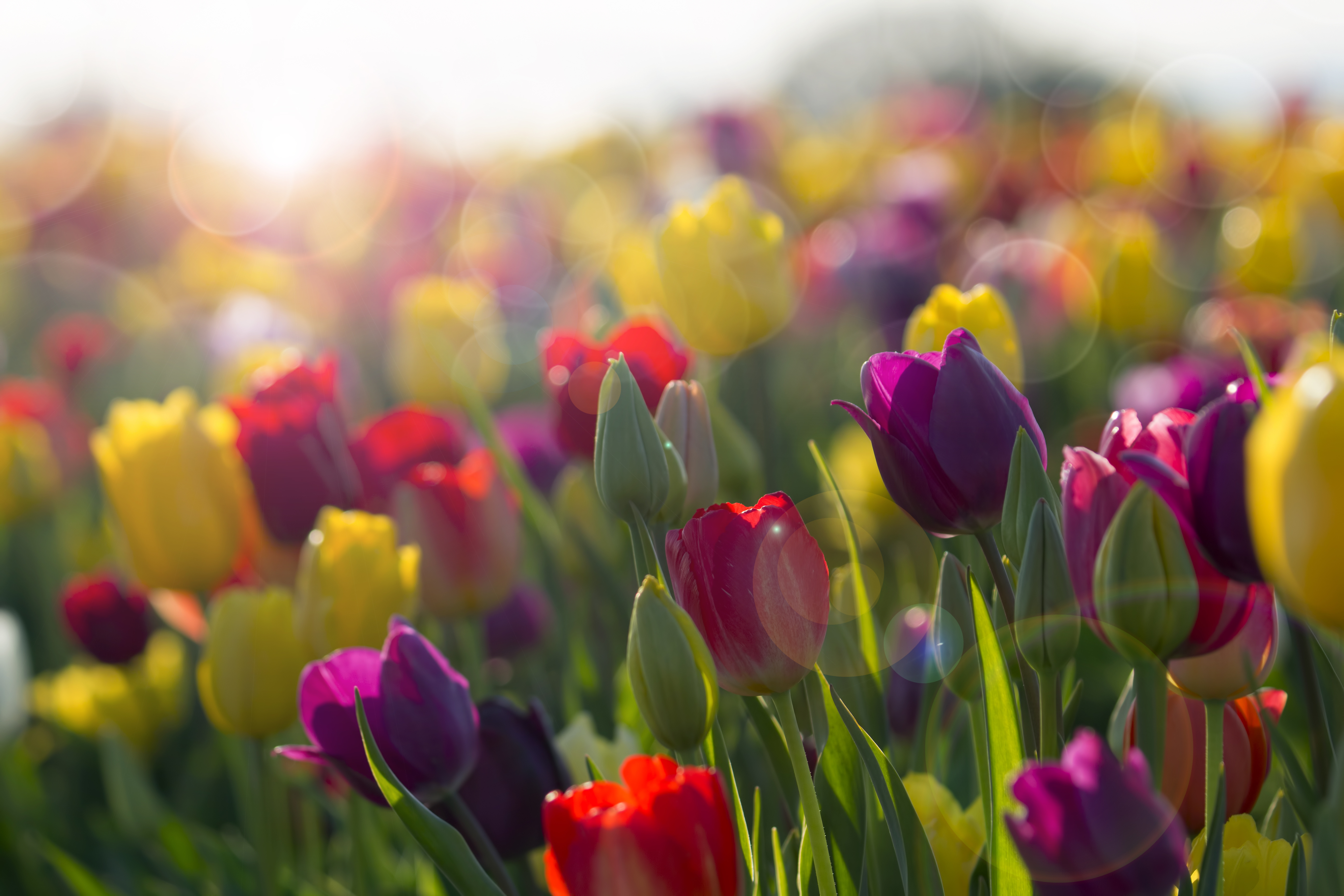 Ask the Gardener: Fertilize lilacs organically and protect tulips