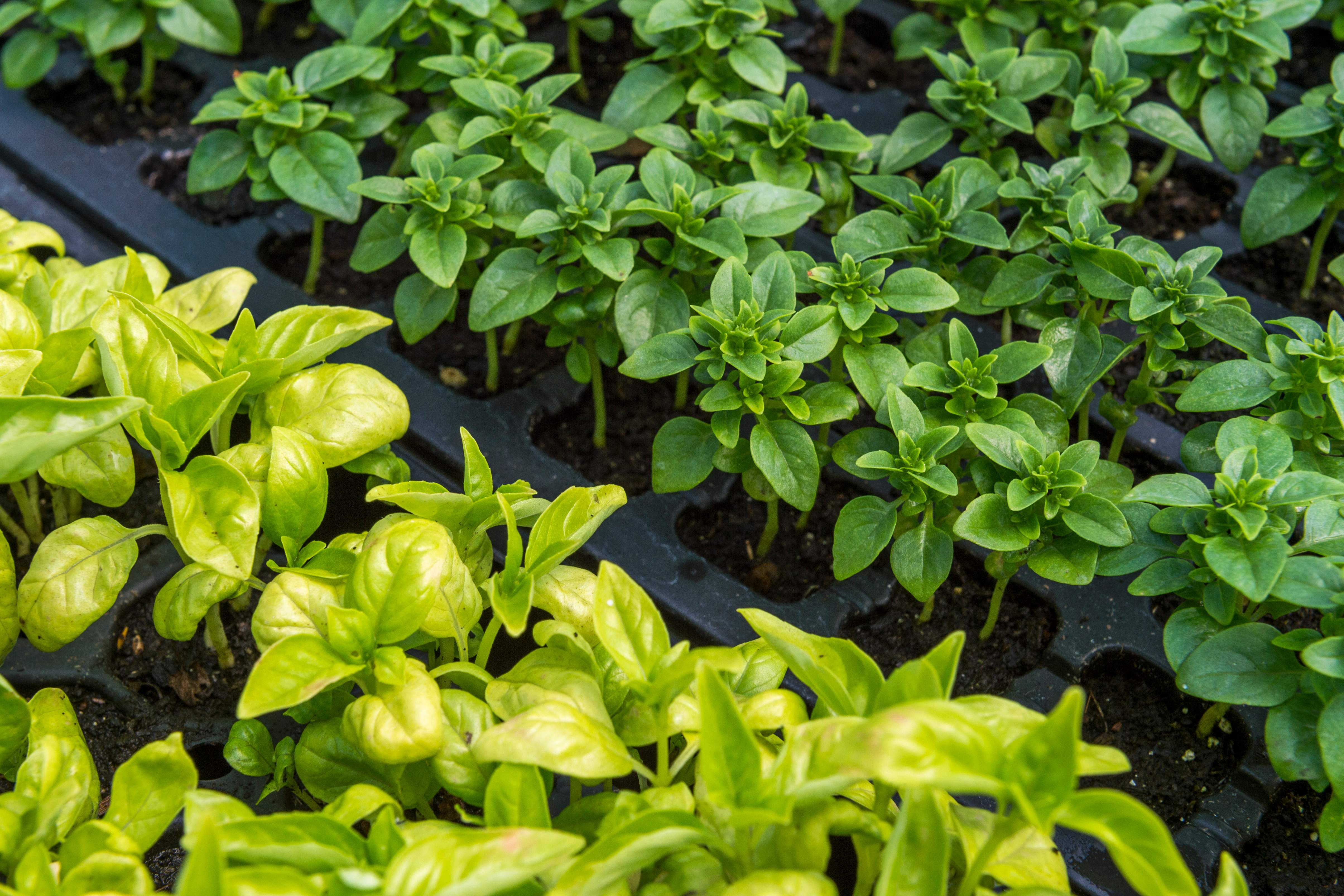 Here's what to do if your basil is turning yellow