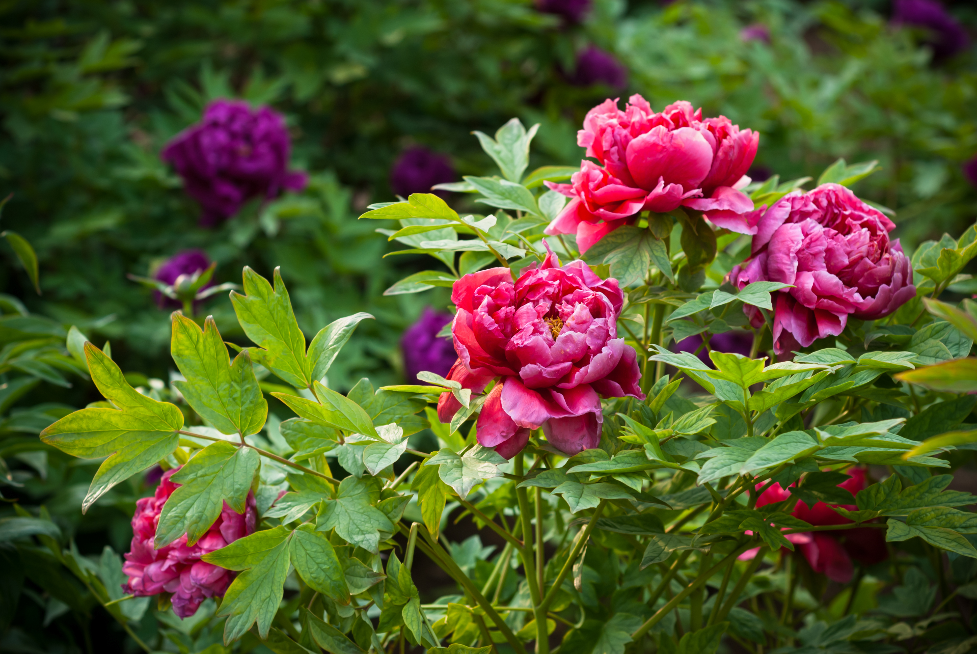 Ask the Gardener: Tips for more peony blooms