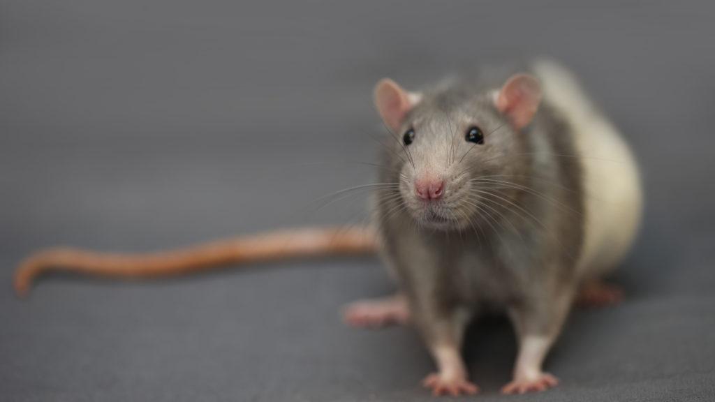 Rats! When your crawl space has critters - Ask the Expert, Home