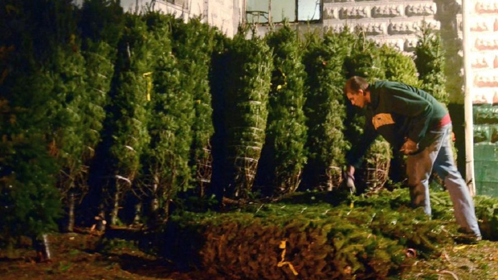 How to care for Christmas trees and plants
